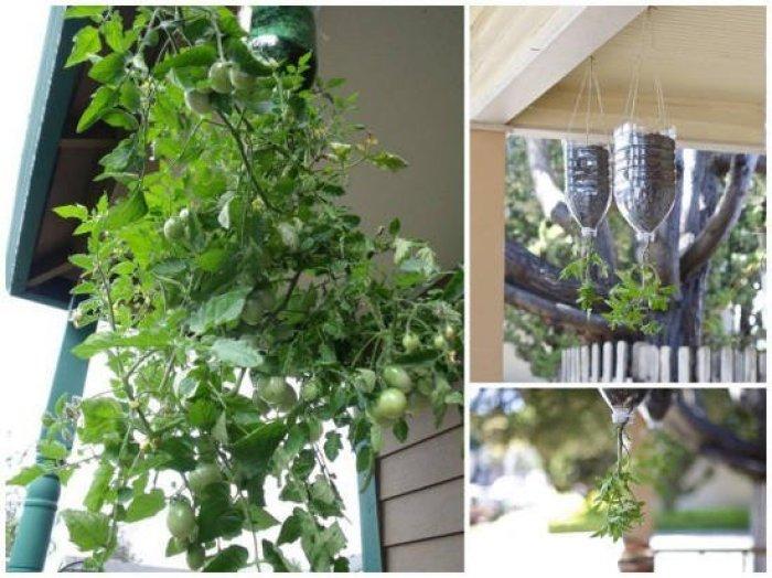 Como plantar tomates en botellas de plástico