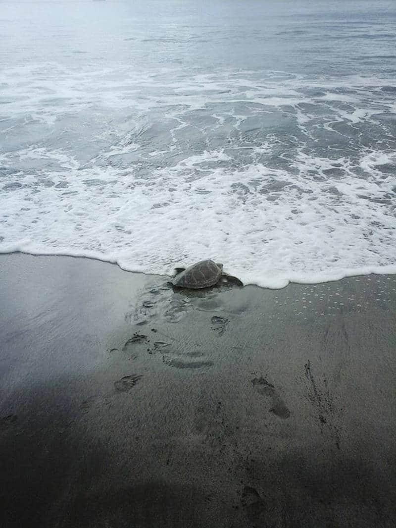 Tortugas salvadas Papua Guinea3