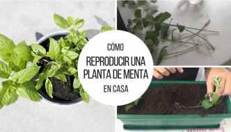 Cómo reproducir una planta de menta en casa