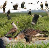 Foto: Crossley Guide of Eastern Birds.