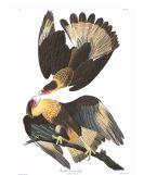 Ilustración: John James Audubon (1840).