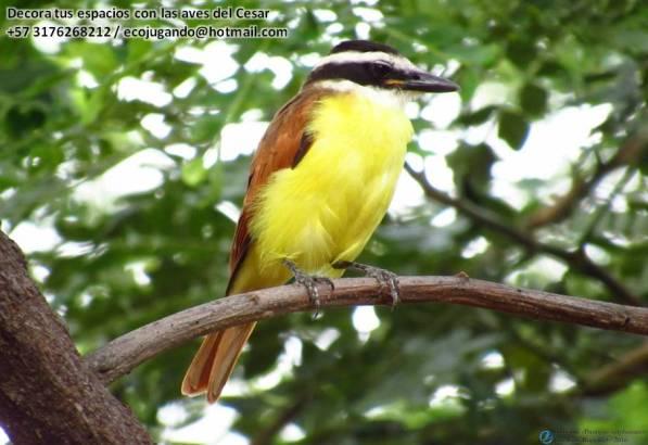 Bichofué (Pitangus sulphuratus). Foto: Jose Luis Ropero.