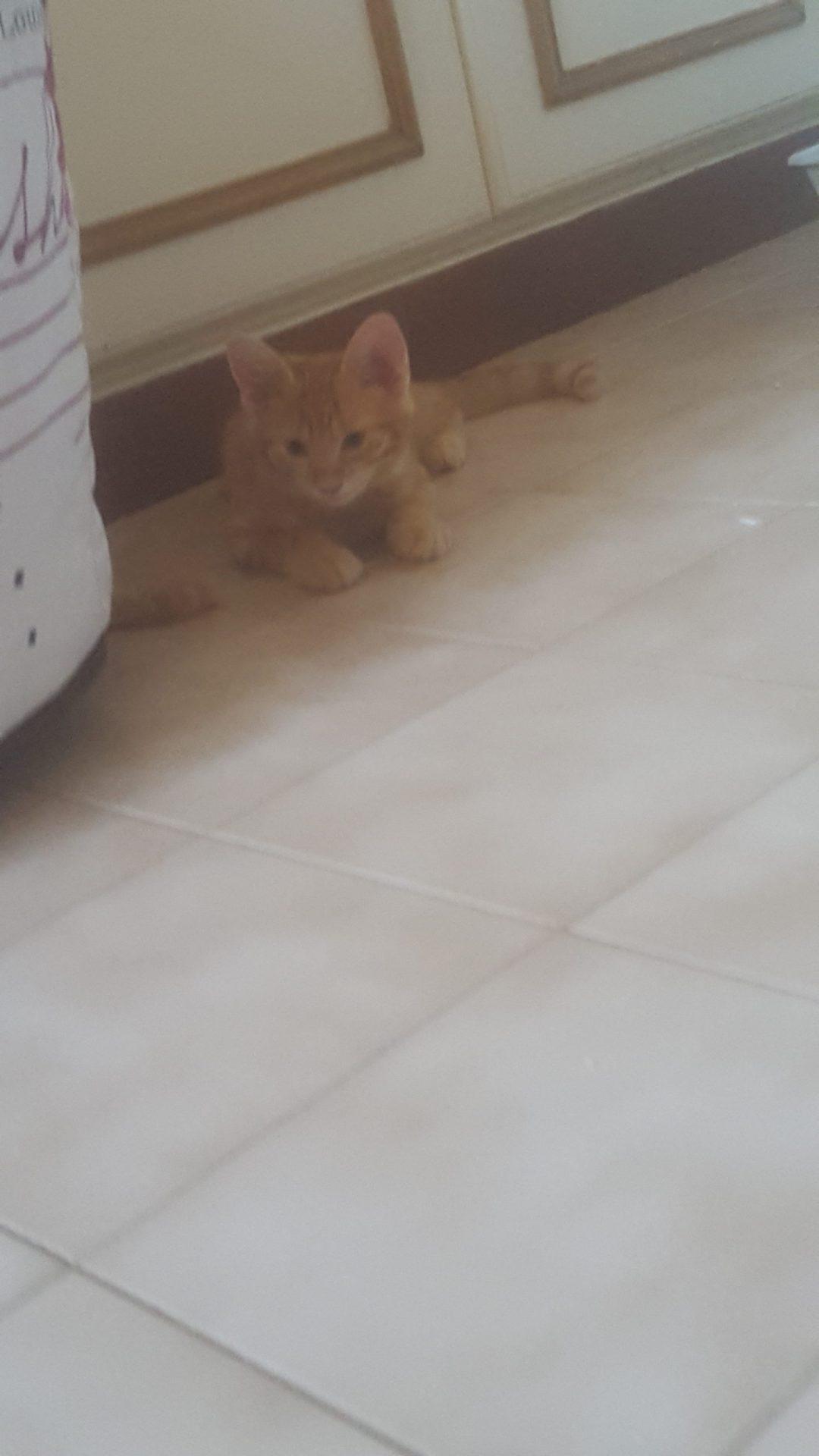 Chaton à adopter juillet école du chat riviera