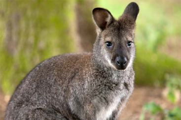 wallaby--1