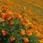 image: lawn replacement with california native plants