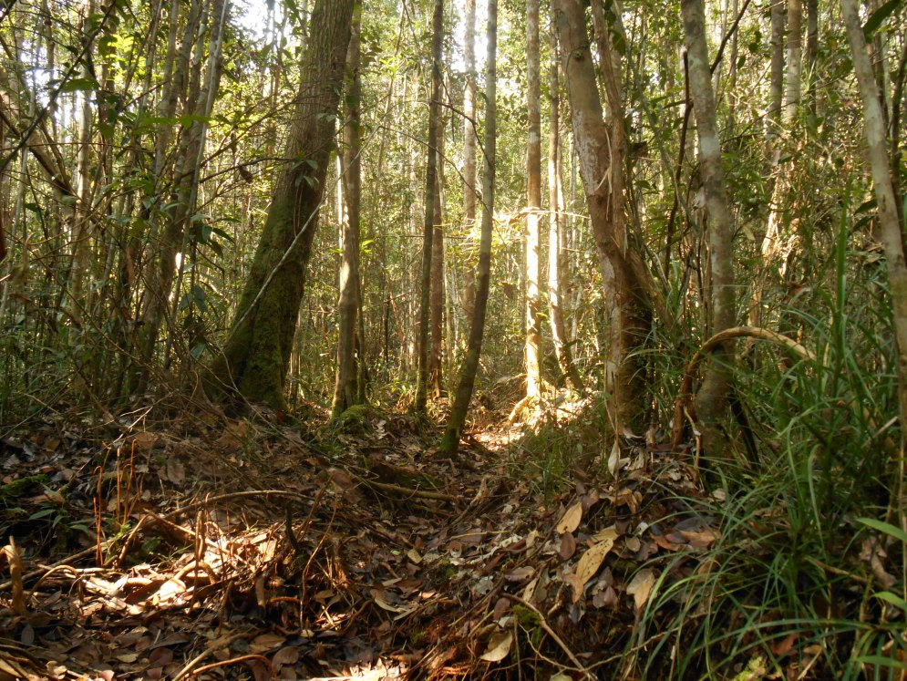 Peat swamp forest before the rain