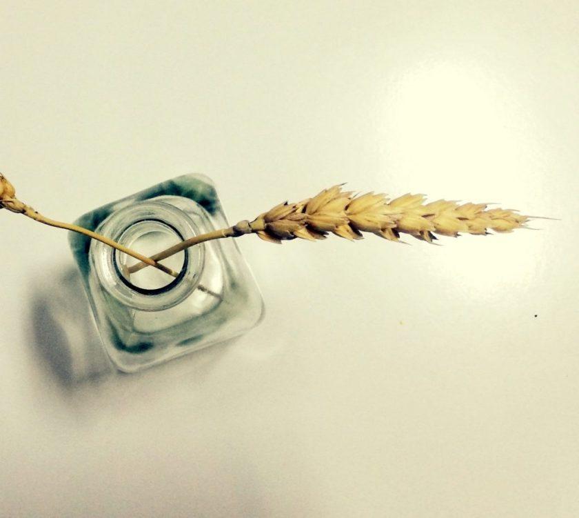 espiga de trigo Florencia aurora