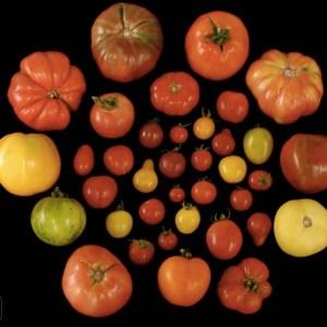 #TBT tasteless tomatoes