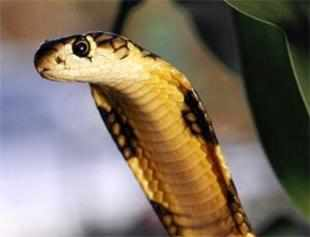 Residents of the suburb ofGuduvancheryrecently witnessed the unusual sight of a female king cobra devouring a male inside a pit. (Representative photo)