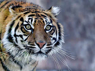 """The number of wild tigers has been revised to 3,890, based on the best available data,"" said WWF and the Global Tiger Forum (GTF)."
