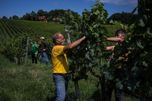 Un vignoble en Autriche à l'avant-plan et un autre en Slovénie à l'arrière-plan, le long de la frontière Autriche-Slovénie.