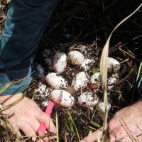 Les chasseurs de crocodiles du Queensland peuvent désormais demander un permis pour récolter des œufs sauvages pour la peau et la viande
