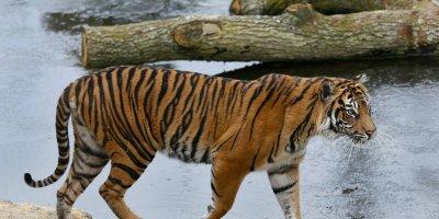 Décès de la femelle tigre