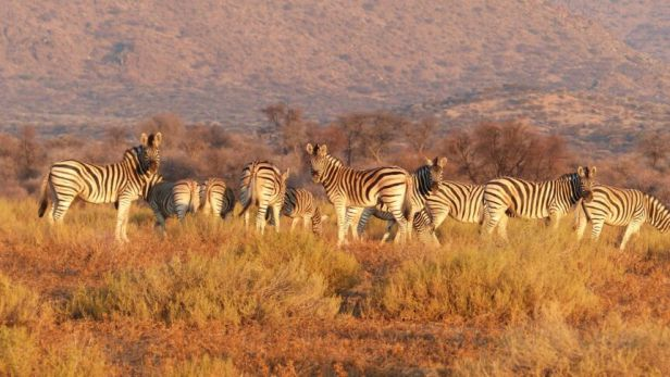 1783-zebras-in-der-savanne