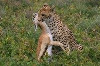 Ndutu Gepard 1 © Win Schumacher Weltwege