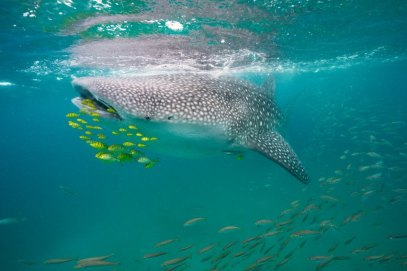 """Mafia Island, Coast Province, Tanzania""""Whale shark, golden trevally and anchovies."""