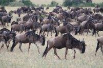 Serengeti Gnuwanderung 2 © Win Schumacher Weltwege