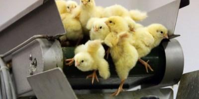 Un système pour éviter le broyage des poussins mâles fait son entrée en France