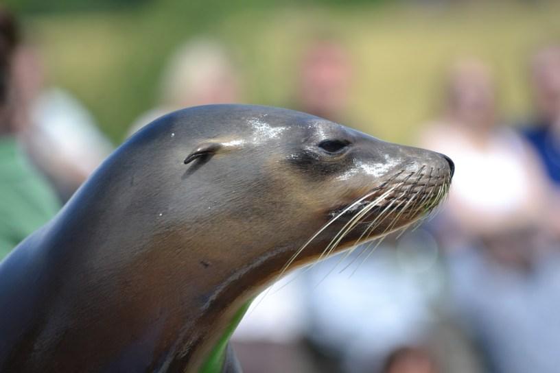 Une ville de Nouvelle-Zélande ferme une route très fréquentée pour protéger… des lions de mer