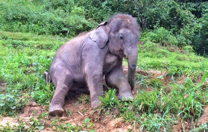Baby Zuki at Elephant nature park thailand