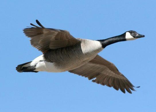 Перелетные птицы России и мира – список фото с названиями ...