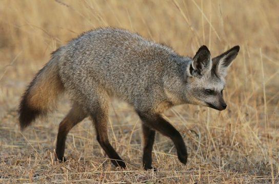 Большеухая лисица - фото и описание, где обитает и чем ...