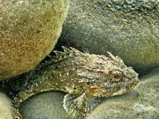 Ядовитые рыбы Черного моря – фото с названиями и описанием