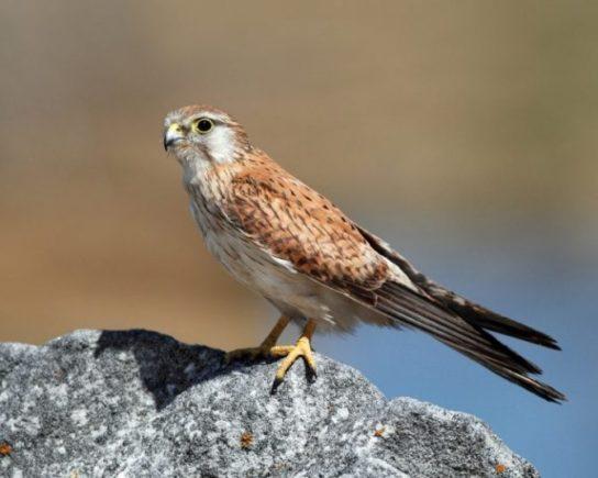 Пустельга - фото и описание птицы, где обитает и чем ...