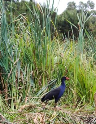 WEtland purple swamp hen
