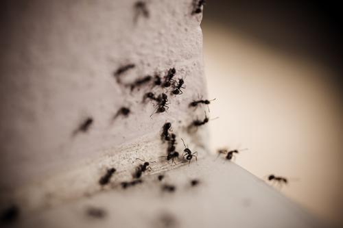 Safe Solution For Carpenter Ants