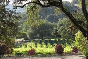 Warnecke vineyard with oaks