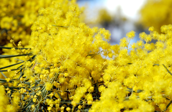 Close up of small fluffy yellow flowers