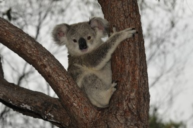 Koala in between two branches of a tree