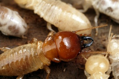 Brown head of a termite showing mouthparts