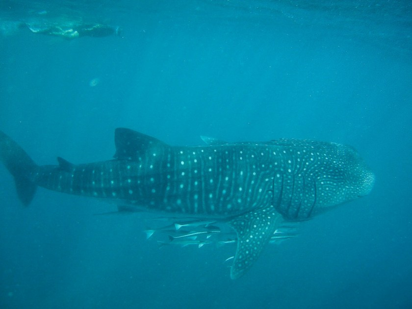 Large shark underwater with spotted appearance and smaller fish following it