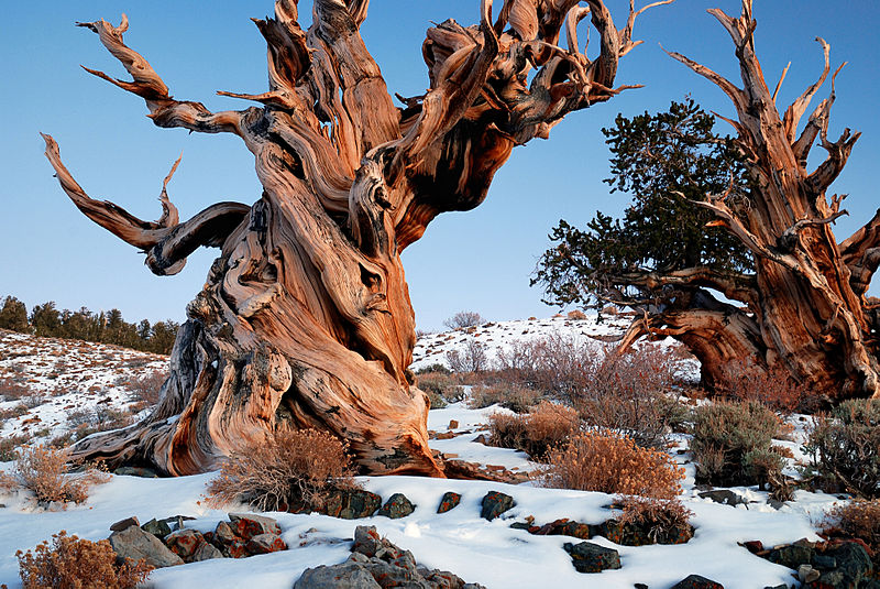 A large gnarled and twisted tree in the snow without leaves
