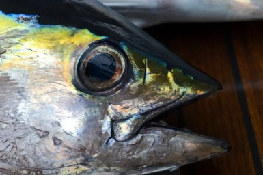 Close up of the head of a Yellow Fin Tuna