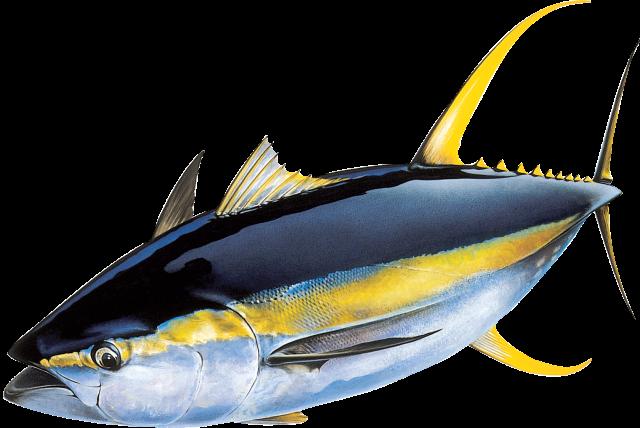 An illustration of a Yellowfin Tuna
