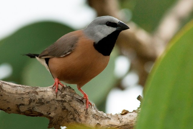 A bird with brown body, grey head and black throat
