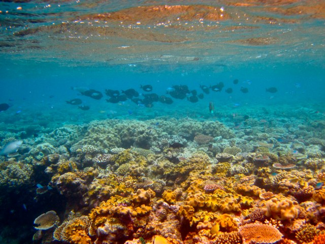 Under water on the Great Barrier Reef showing coral and fish.
