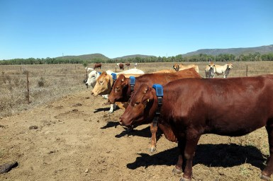 Four cattle wearing radio collars standing in a line