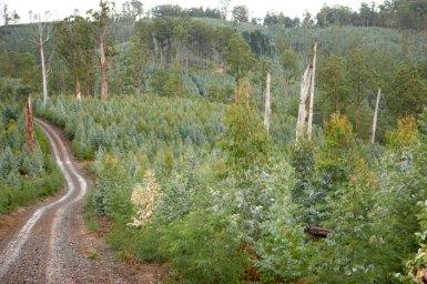Blue gum plantation