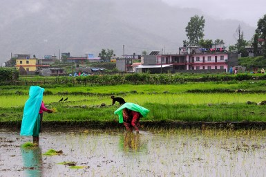 women working in rice paddies