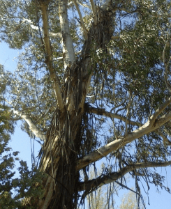 ribbons of bark hanging from high branches