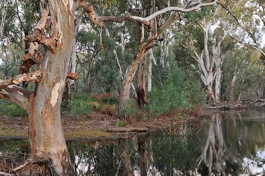 red gums in creek bed