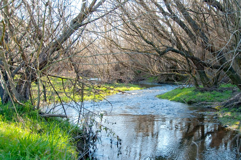 willows in winter over a stream