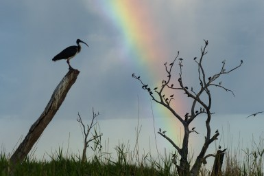 ibis on tree with rainbow in background