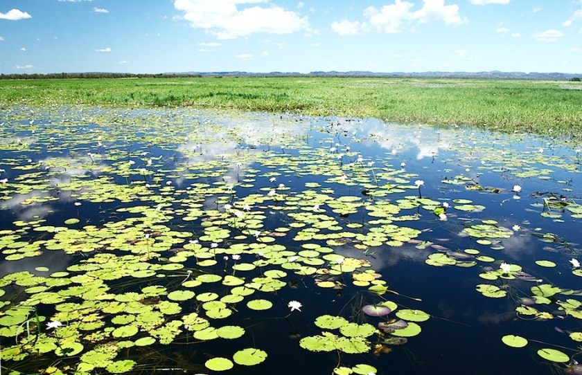 lilies in the foreground of a wide angle shot of wetlands