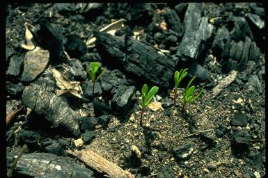 green seedlings sprouting from blackened ground