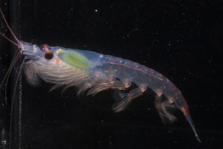 enlarged image of krill